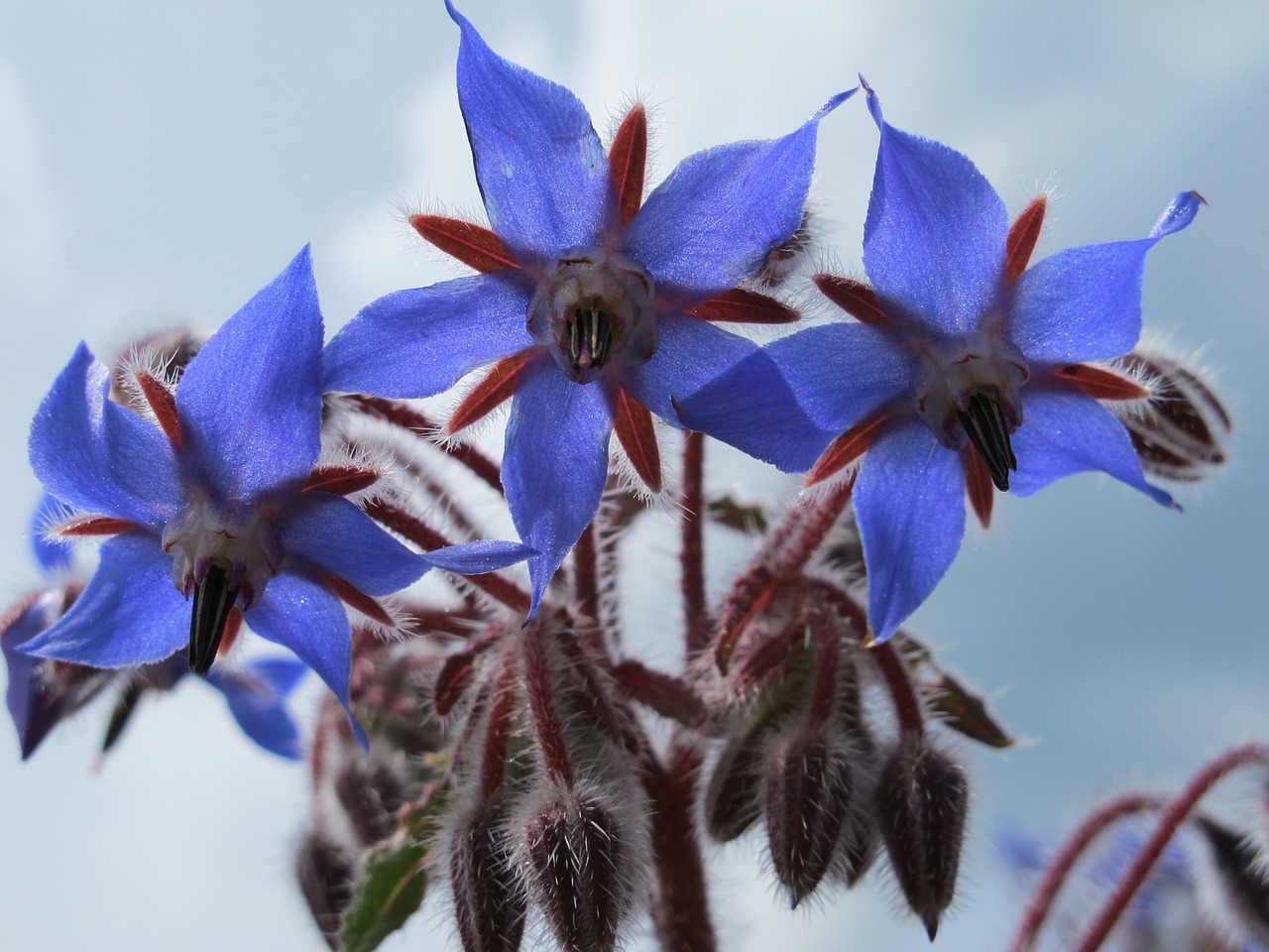 Borage Plant in Bloom